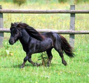 poney nain race